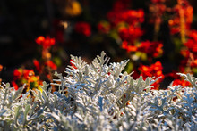 Dusty Miller Cineraria Plant- Maritima Silverdust On Bright Blurred Red Background
