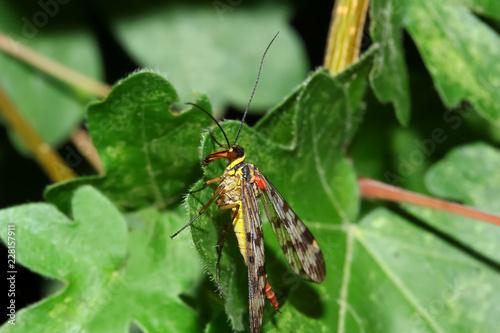 Skorpionsfliege, Panorpa communis
