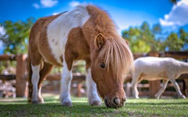 Fototapeta Dwarf Horse In Green Field