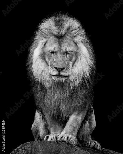Staande foto Leeuw African Lion VI