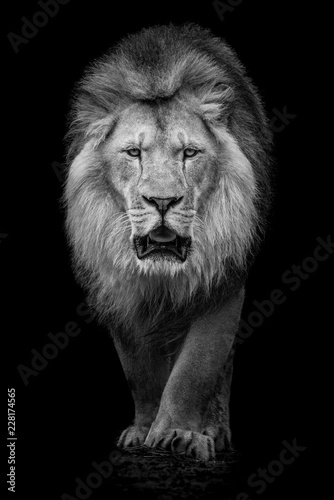 Fototapety, obrazy: African Lion VII