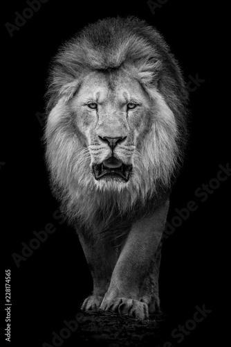 Poster Leeuw African Lion VII