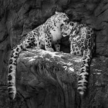 Snow Leopard Pair IV