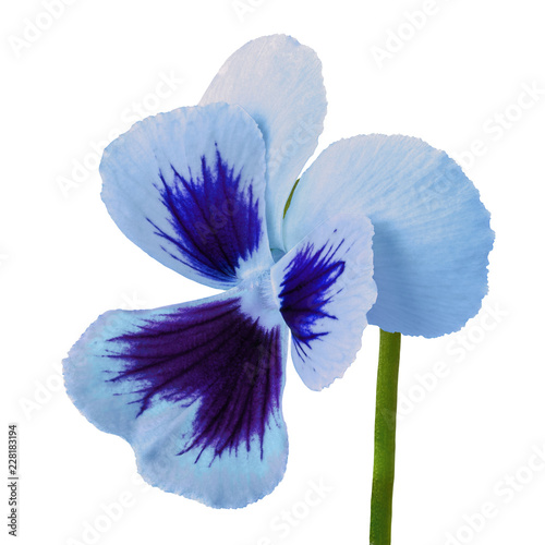 Spoed Foto op Canvas Iris flower blue indigo viola isolated on white background. Close-up. Flower bud on a green stem.