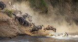 Fototapeta Sawanna - Wildebeests are crossing  Mara river. Great Migration. Kenya. Tanzania. Maasai Mara National Park.