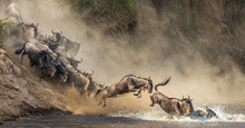 Wildebeests Are Crossing Mara ...