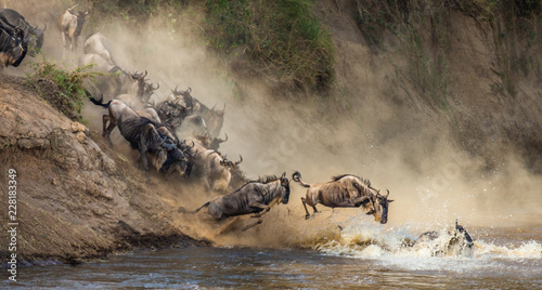 Wildebeests are crossing  Mara river Wallpaper Mural