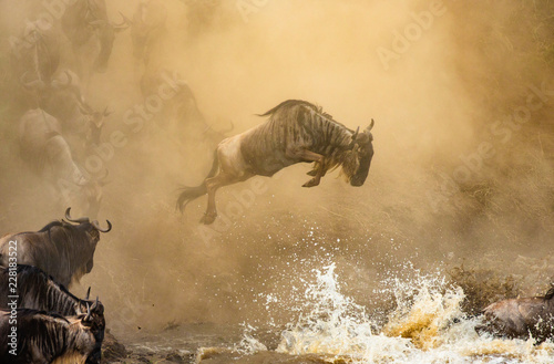 Fotomural  Wildebeest is jumping to the Mara River