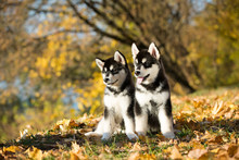 Puppy Of Alaskan Malamute In Autumn Background