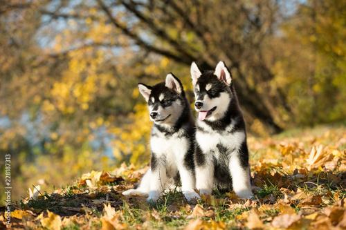 Photo puppy of alaskan malamute in autumn background