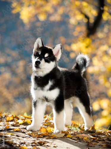 puppy of alaskan malamute Canvas Print