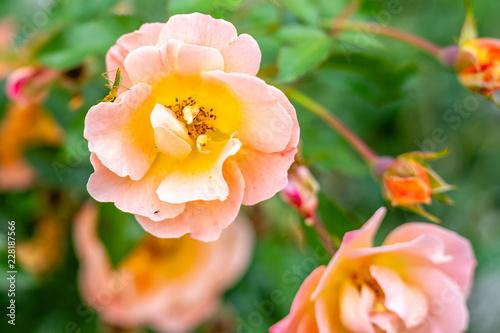 Foto op Canvas Bloemen Pink Rose Closeup