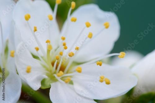 Photo  Macro shot of sloe blossom