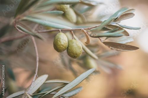 Foto op Plexiglas Olijfboom Closeup of olive tree branch - Provence