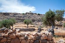Olive Tree. Olive Tree Wild Gr...