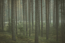 Mysterious Forest In Morning F...