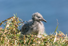 Seagull Chick In A Natural Set...