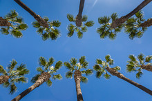 Looking Up At Tall Palm Trees ...