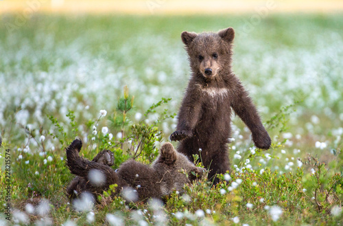 Brown bear cubs in the summer forest Tableau sur Toile