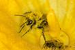 Leinwandbild Motiv Bee covered in yellow flower pollen macro