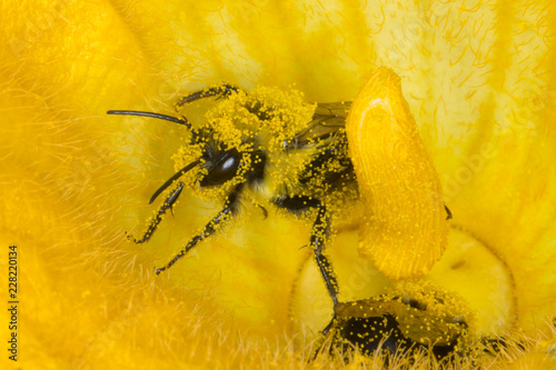 Bee covered in yellow flower pollen macro Billede på lærred
