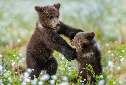 Keuken foto achterwand Buffel Brown bear cubs playing in the forest. Bear Cubs stands on its hind legs. Scientific name: Ursus arctos. Cubs playing on the swamp in the forest. White flowers on the bog in the summer forest.