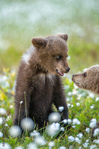 Keuken foto achterwand Buffel Bear Cub stands on its hind legs. Brown bear ( Scientific name: Ursus arctos) cubs playing on the swamp in the forest. White flowers on the bog in the summer forest.