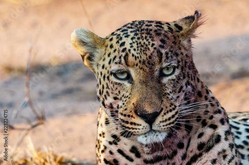 Spoed Foto op Canvas Luipaard Torchwood Male Leopard - Sabi Sands, South Africa
