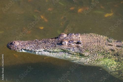 Saltwater crocodile in Darwin, Northern Territory, Australia