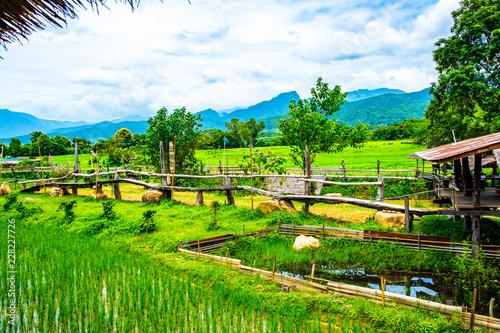Tuinposter Wijngaard Rice field in Pua district