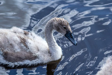 Young, Grey Swan On Water Close Up