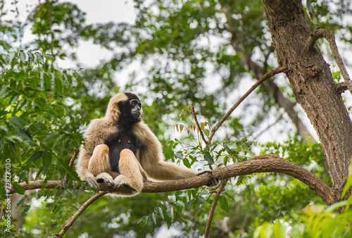 Canvas Print Gibbons sitting on the branches in the zoo