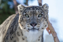 Snow Leopard Stares Into The C...