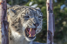 Snow Leopard Snarling Closeup