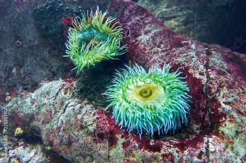 Photo Sea anemones in the Lisbon Oceanarium. Portugal.