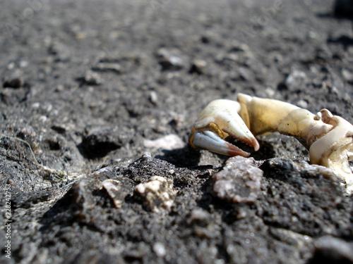 Nordsee-Krabbe in der freien Wildbahn im Wattenmeer