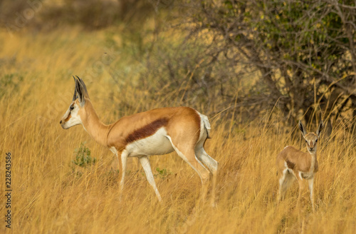 Foto op Canvas Antilope A springbok ewe and her young isolated in the grass in the African wilderness image with copy space in landscape format