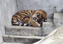 Amur Leopard. Amur Leopard Is...