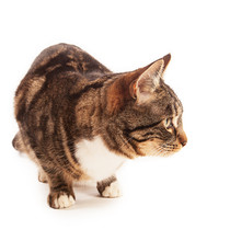 Crouching Tabby Cat Looking To...