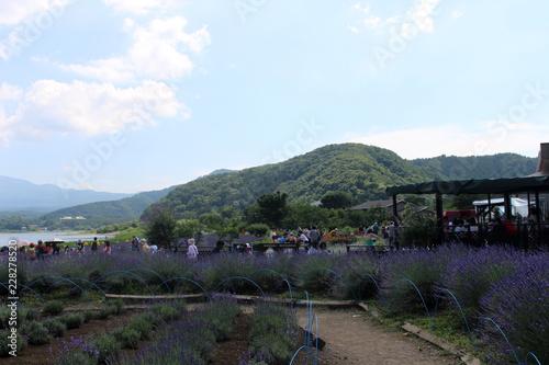 Yamanashi Prefecture, Japan - July 10, 2017: Lavender Garden at Oishi Park, Kawaguchiko Lake