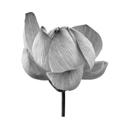 lotus flower black and white isolated on white background
