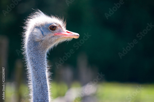 Spoed Foto op Canvas Struisvogel Ostrich face portrait closeup view