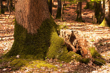 Mossy Oak Tree Trunk In Spring Woodland