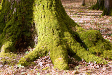 Mossy Oak Tree Trunk In Woodland