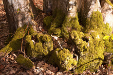 Mossy Hornbeam Tree Base