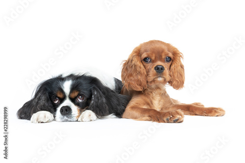 Canvas-taulu Two dogs isolated on white