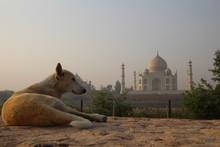 Furry Friend Enjoying The Sunrise Over The Elegant Taj Mahal