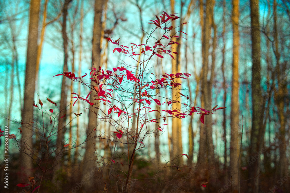 Fototapeta Tiny tree with beautiful red leaves in a forest of bare trees against a blue green winter sky