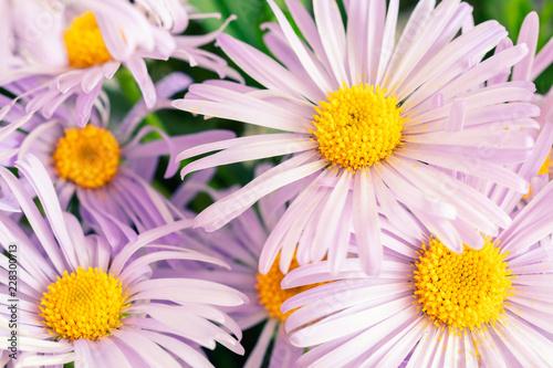 Foto op Canvas Bloemen Background of Pink, purple Chrysanthemum daisy with yellow harts