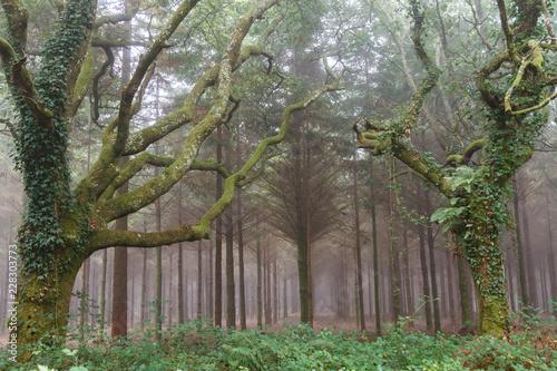 Robles cubiertos de musgo y hiedras. Bosque entre la niebla. Quercus. © LFRabanedo